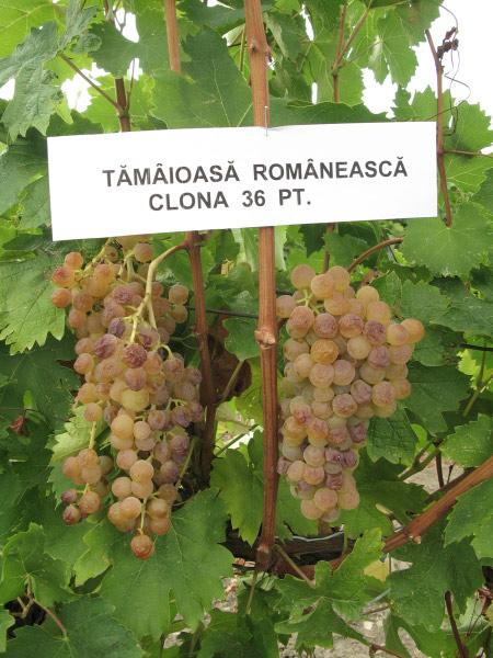 Tamaioasa Romaneasca clona 36 pt